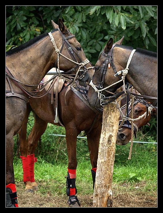 Encore des chevaux : tournoi de polo au Chef-du-Bois à La Forêt-Fouesnant Image70